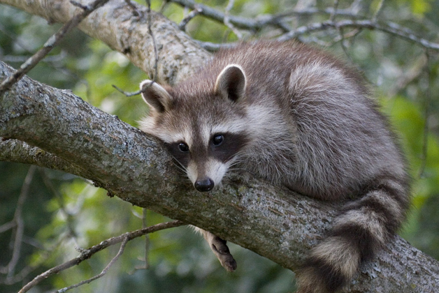 One Fat Raccoon Rescue One Fat Frog