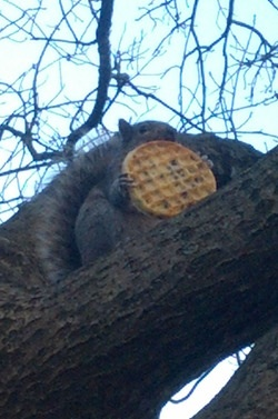 squirrel eating waffle