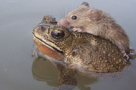 This frog saved this rat from drowning.